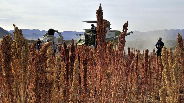 Senasag inspecciona 38 toneladas de quinua que se exportarán a EEUU