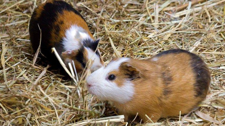 El régimen cubano fomenta la cría y consumo de roedores ante la escasez de alimentos