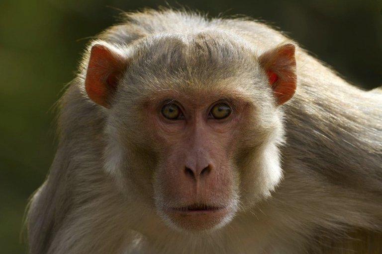 China reportó la primera muerte de un humano por un raro virus que transmiten los monos
